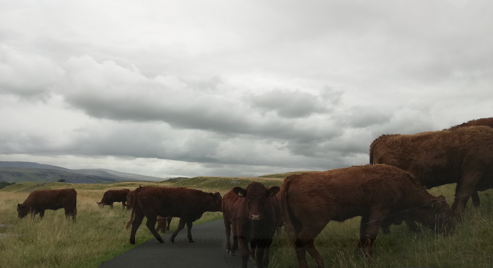 Stubbern cows on the road